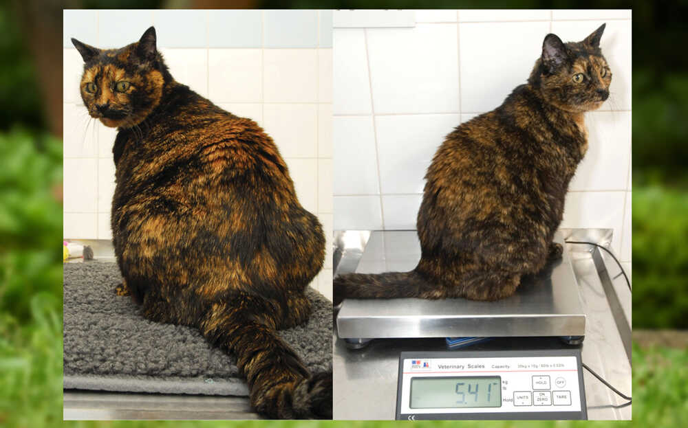 Overweight Cat Lose Weight